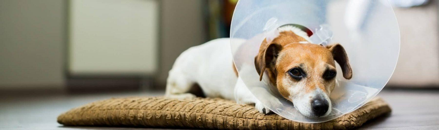 Service-dog-spay-surgery