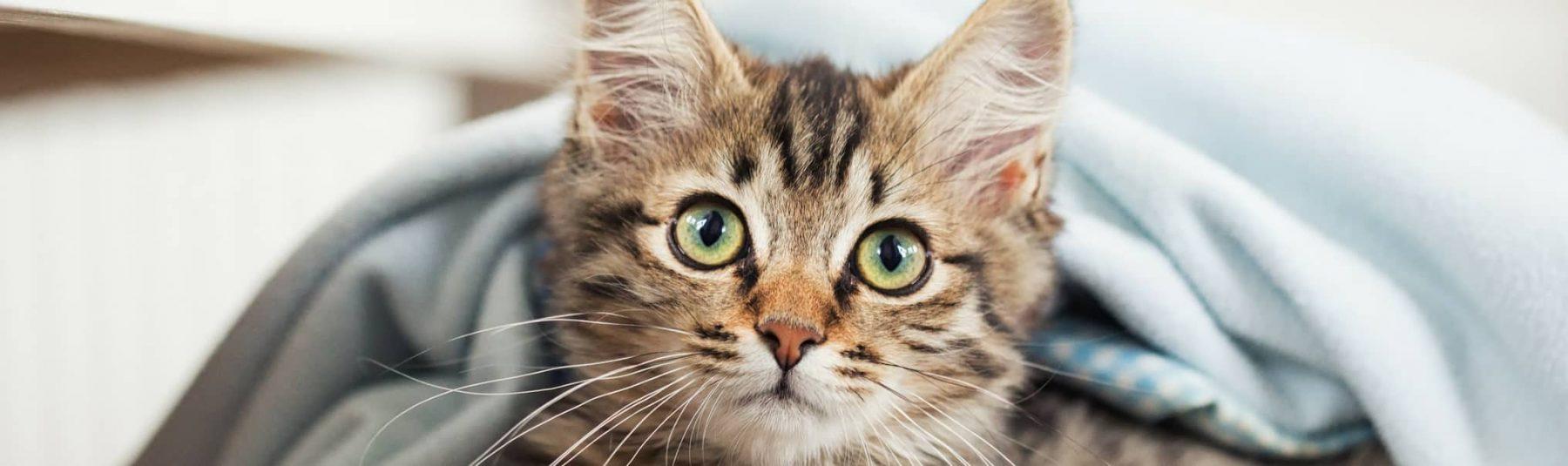 Service-kitten-vaccine