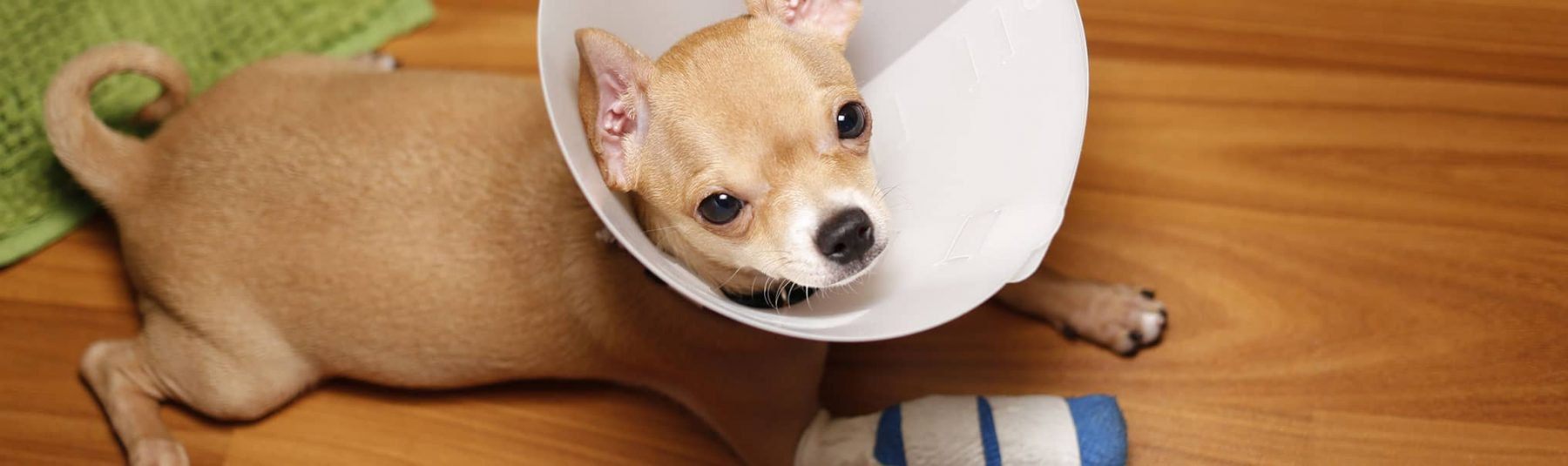 Dog with bandaged arm and wearing a cone