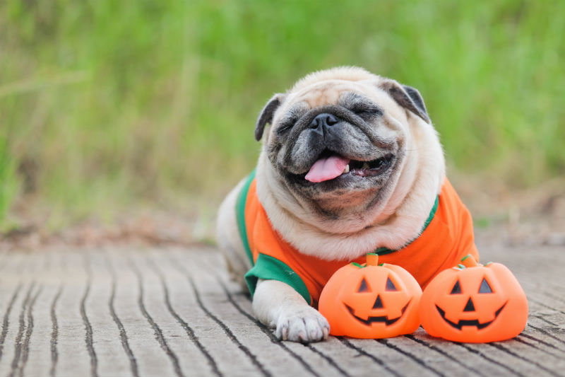 halloween anxiety with all the trick or treaters manitou animal